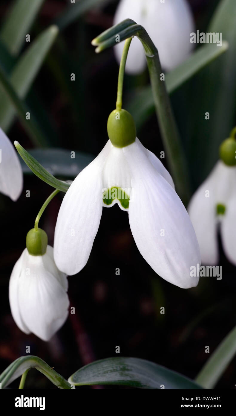 Galanthus bill bishop white flowers green markings flower bulbs snowdrops spring flowering - Stock Image