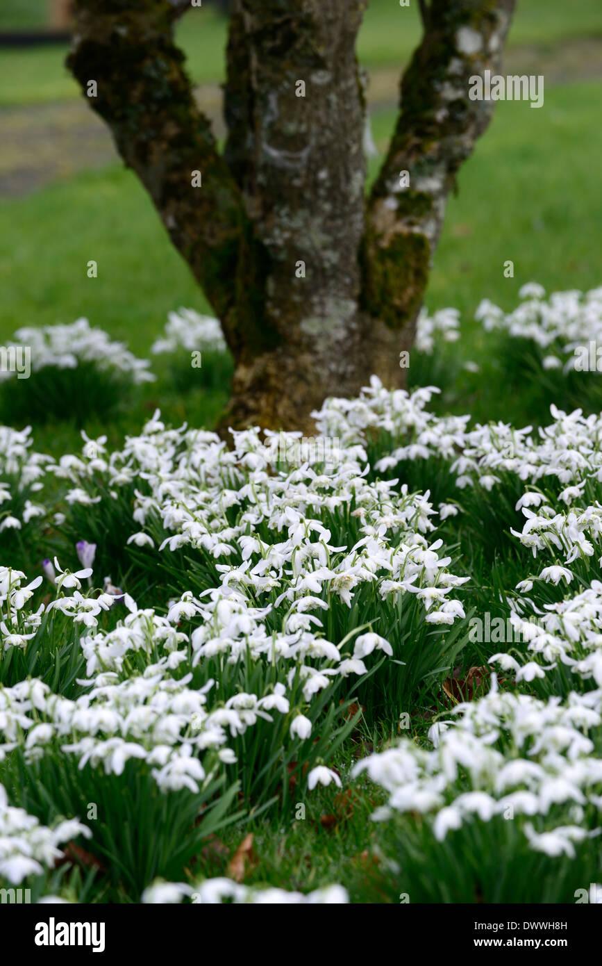 Galanthus Flore Pleno Double White Flowers Green Markings Flower