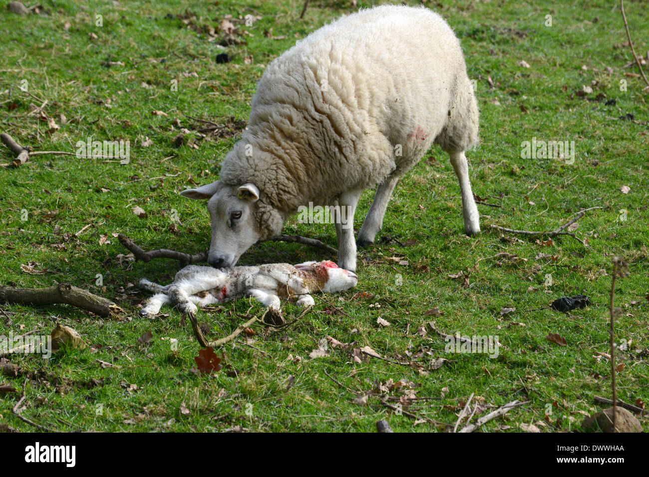 Female sheep ewe standing by her dead baby lamb uk - Stock Image