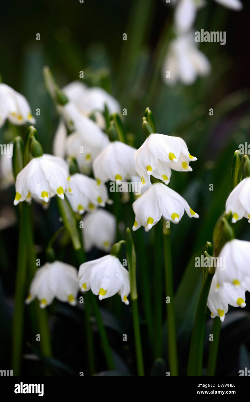 Leucojum vernum spring flower flowers flowering bloom spring stock leucojum vernum spring flower flowers flowering bloom spring snowflakes snowflake blossom white green tip tipped mightylinksfo
