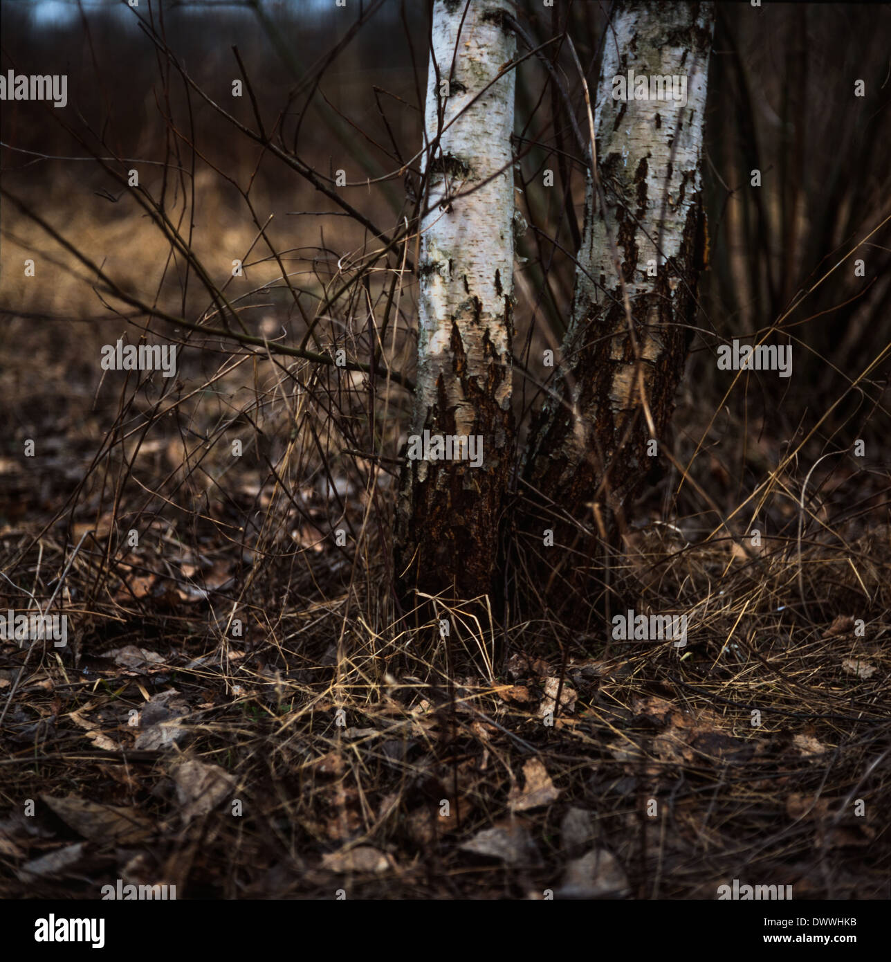 Birch trees taken on medium format film - Stock Image
