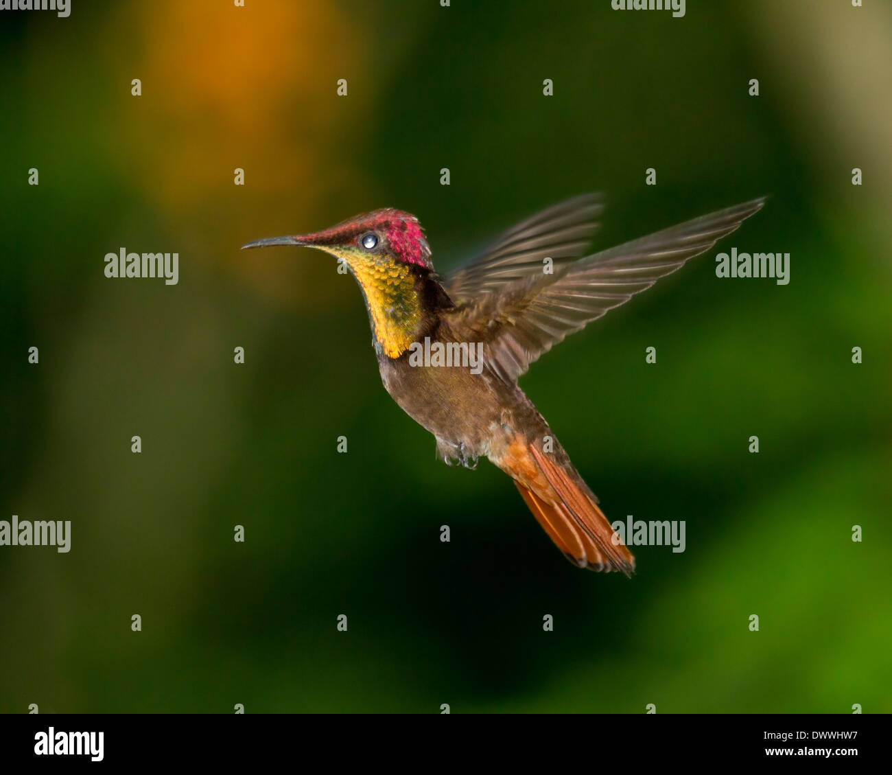Male Ruby Topaz Hummingbird, Chrysolampis mosquitus, hovering - Stock Image