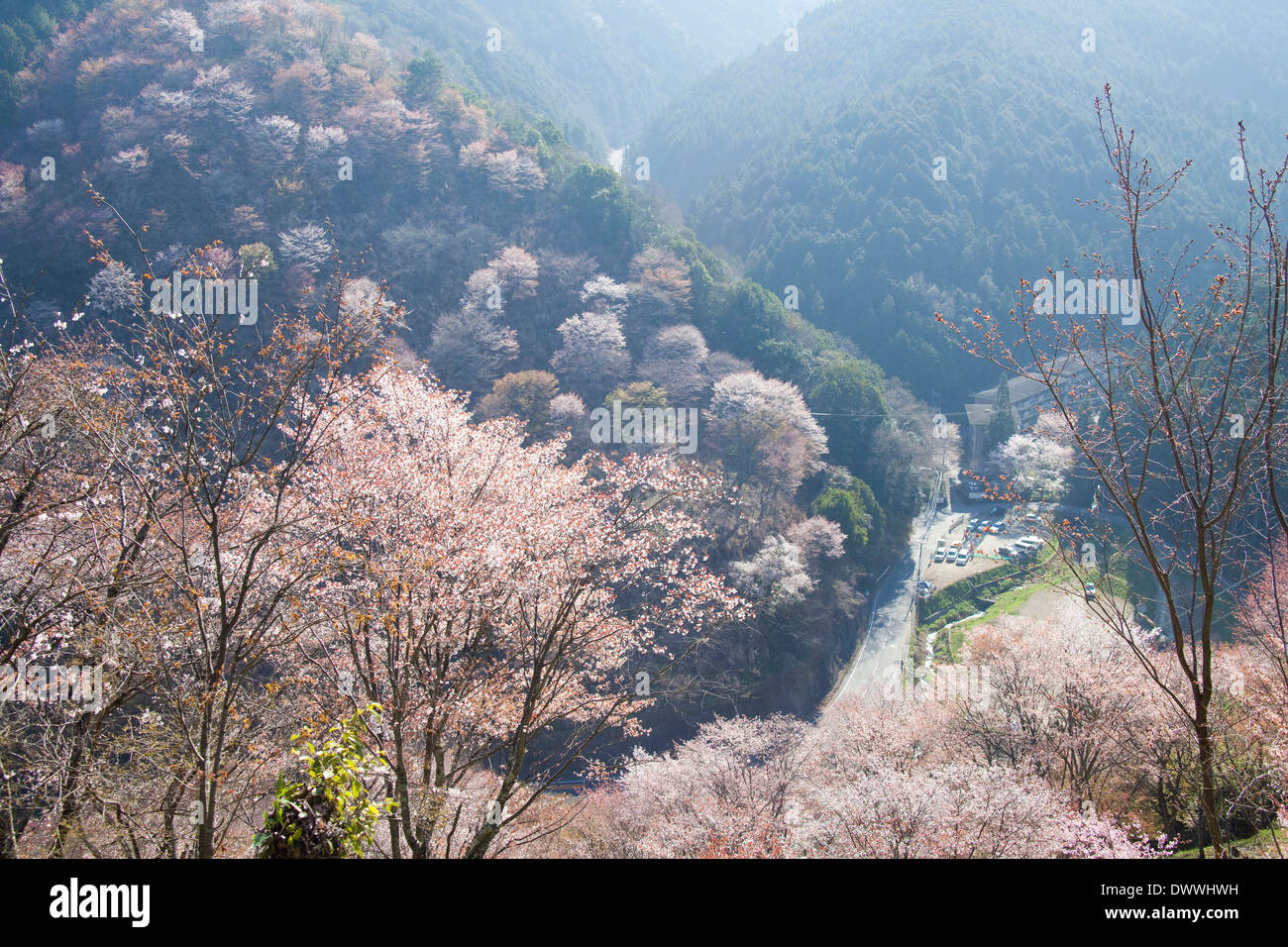 Cherry trees in Mt Yoshino, Nara Prefecture, Japan - Stock Image