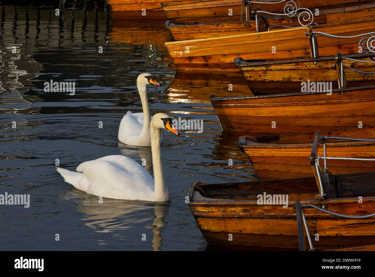 Pair of mute swans in Bowness Bay, Lake Windermere, Lake District National Park, Cumbria, England UK - Stock Image