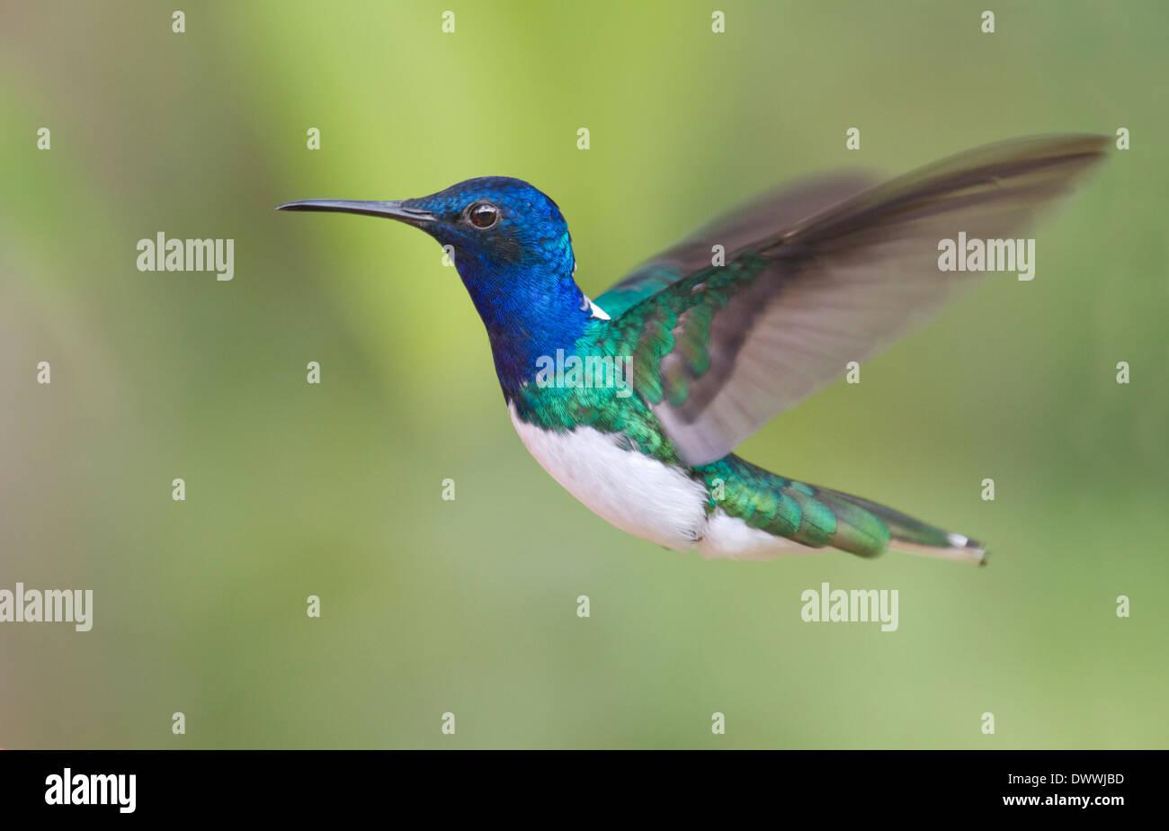 White-necked Jacobin hummingbird, Florisuga mellivora, Tobago - Stock Image