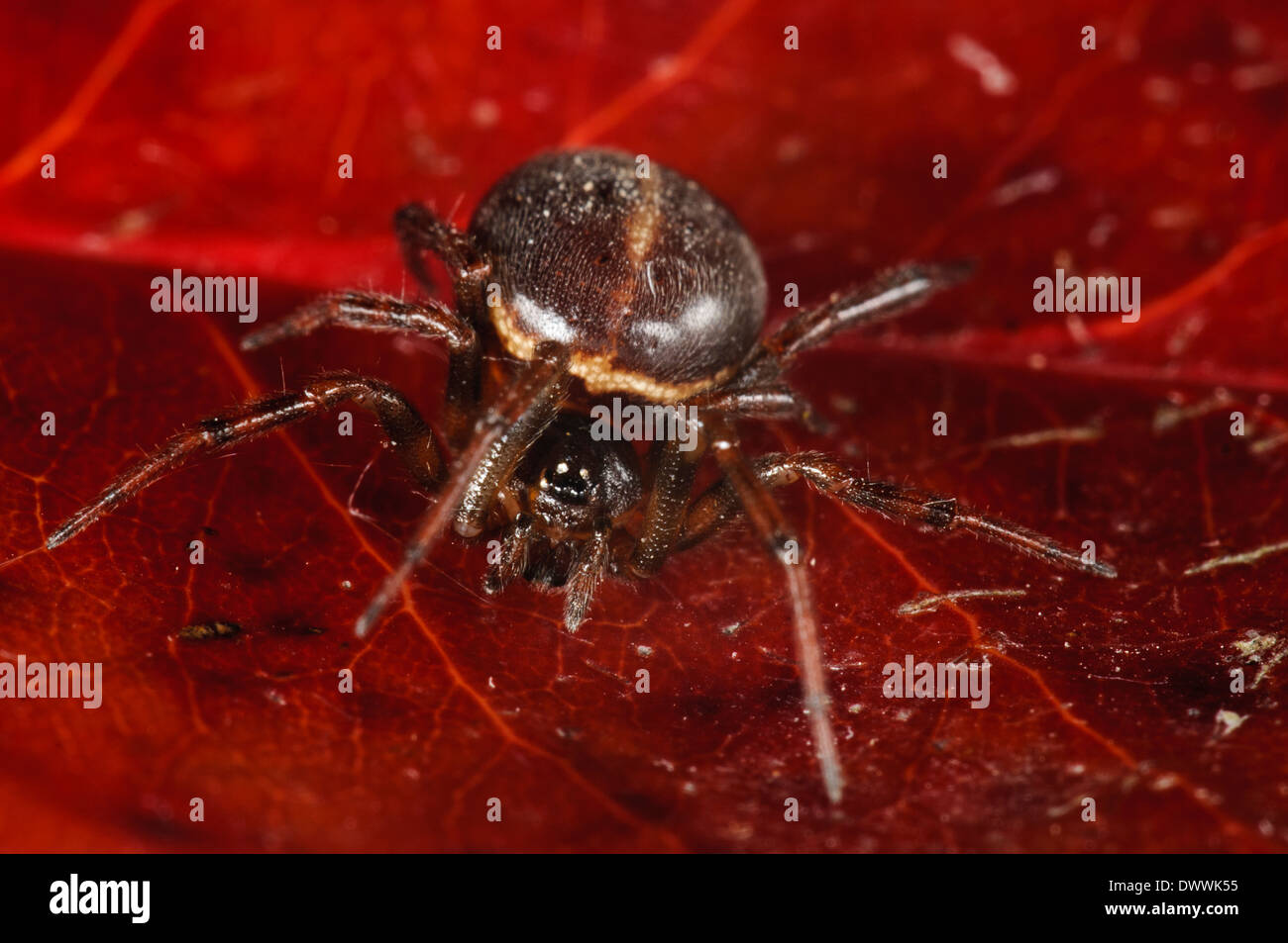 Common false widow, aka rabbit hutch spider (Steatoda bipunctata), adult female sitting on a red leaf in Thirsk - Stock Image