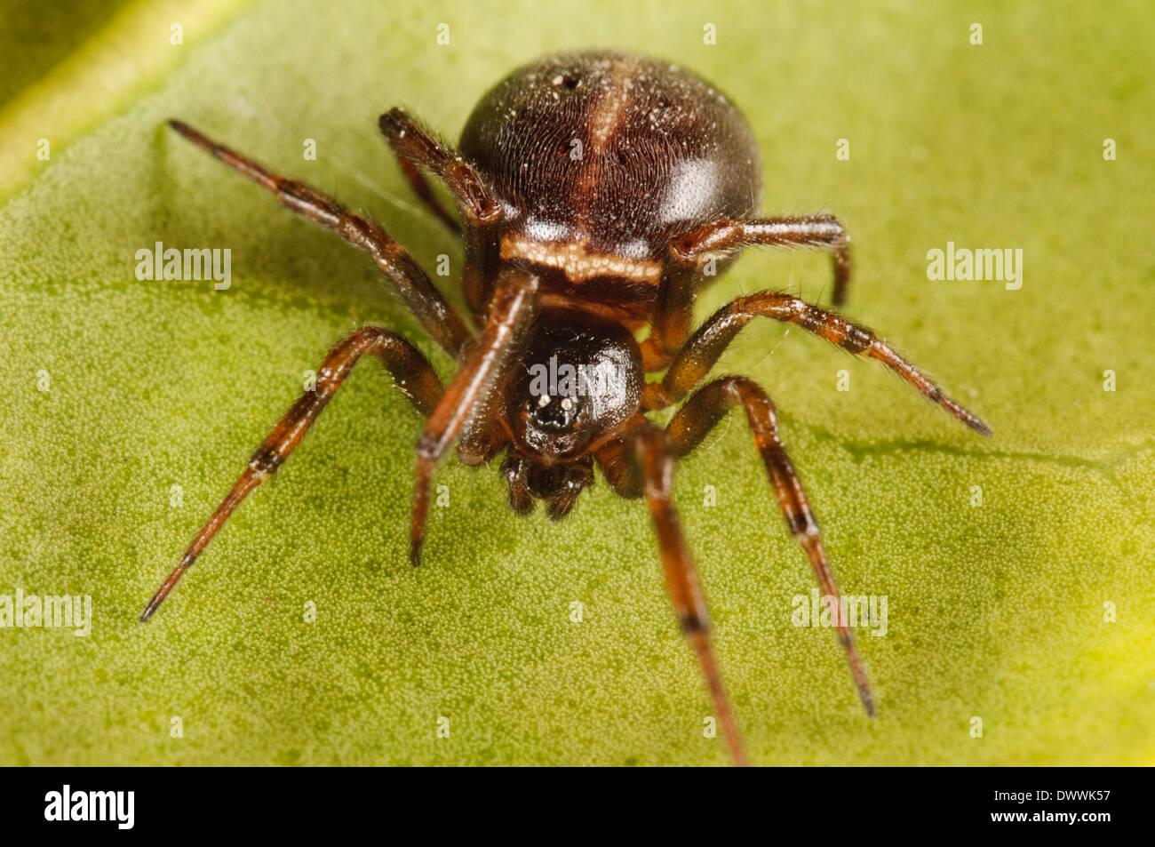 Common false widow, aka rabbit hutch spider (Steatoda bipunctata), adult female sitting on a green leaf in Thirsk - Stock Image