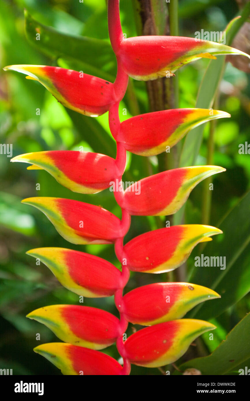 Close up of heliconia flowers, Okinawa Prefecture, Japan - Stock Image