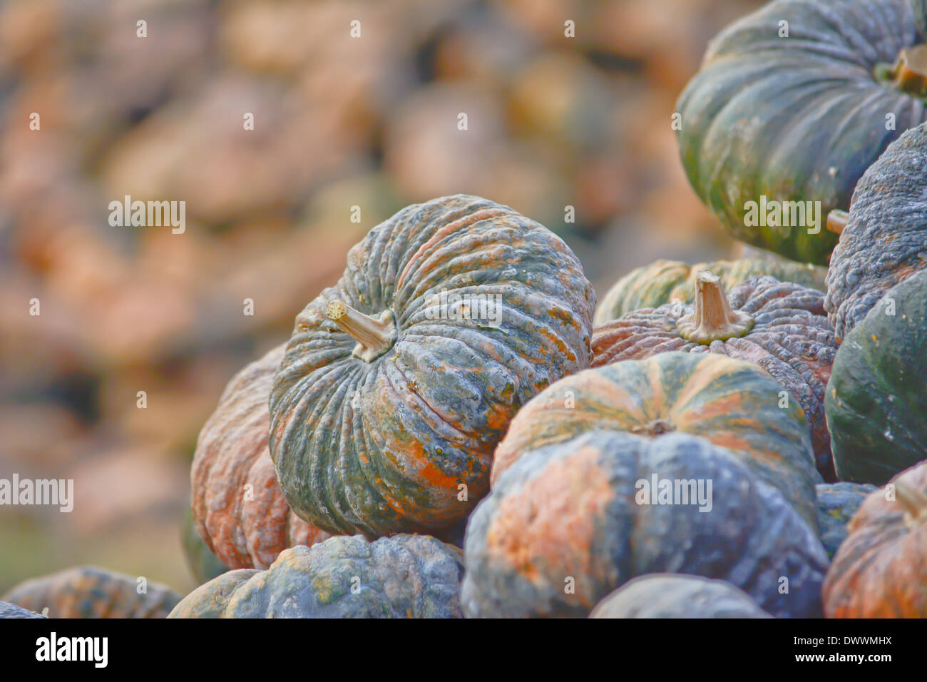 thai rotten pumpkin stack Stock Photo