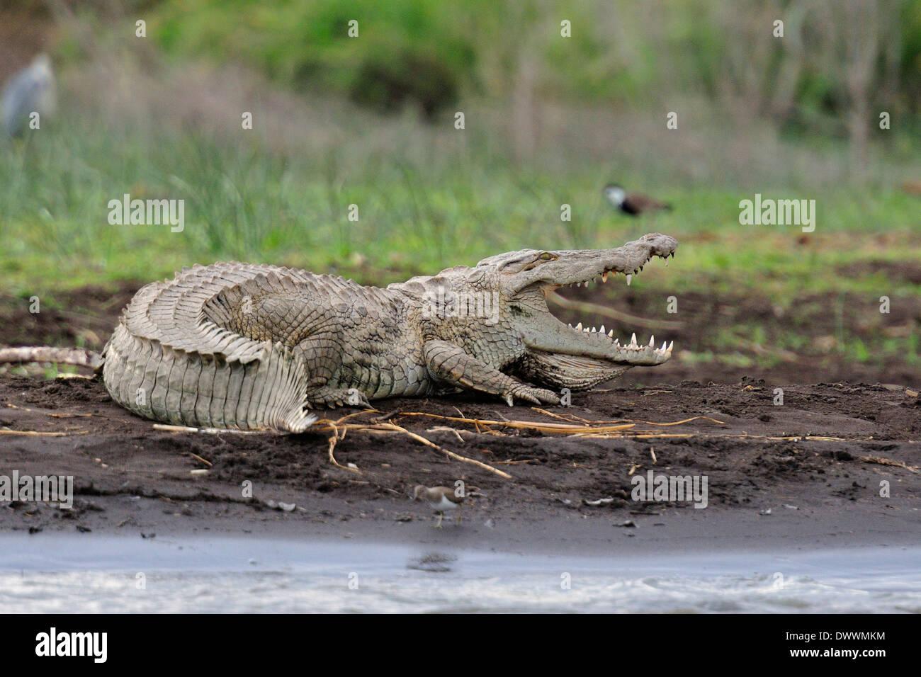 Nile crocodile Crocodylus niloticus, Crocodylidae, Chawo Lake, Nechisar National Park, Arna Minch, Ethiopia, Africa - Stock Image