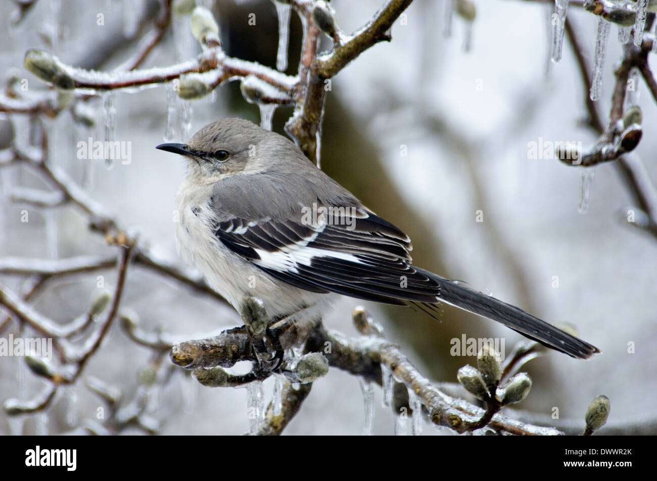 Northern Mockingbird Perched on Ice Encrusted Star Magnolia Branch Stock Photo