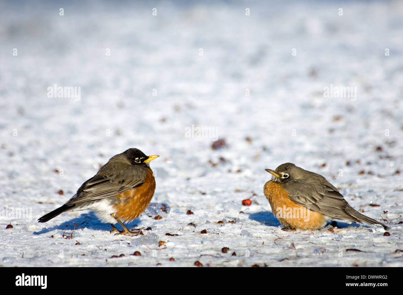 American Robins on Snow Covered Ground Foraging for Haws from a Hawthorn Tree - Stock Image