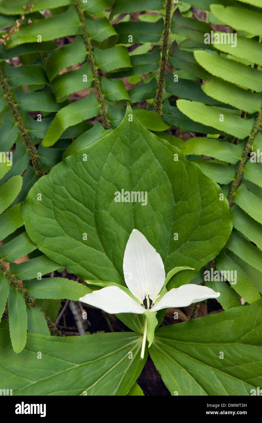 Sweet White Trillium Growing Amid Ferns in the Great Smoky Mountains National Park in Tennessee - Stock Image