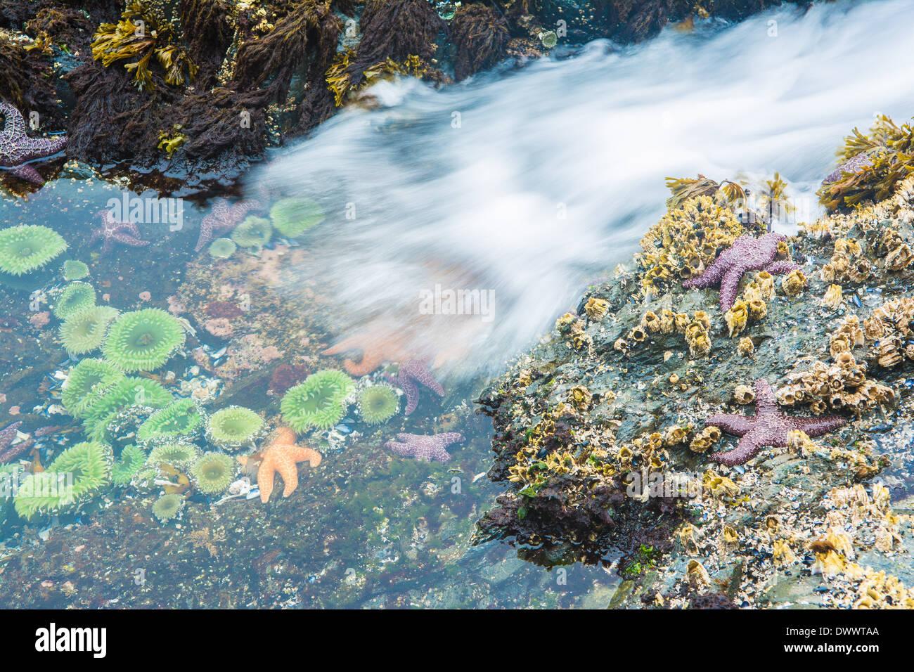 Starfish and anemones, Bamdoroshni Island off the coast of Sitka, Alaska - Stock Image