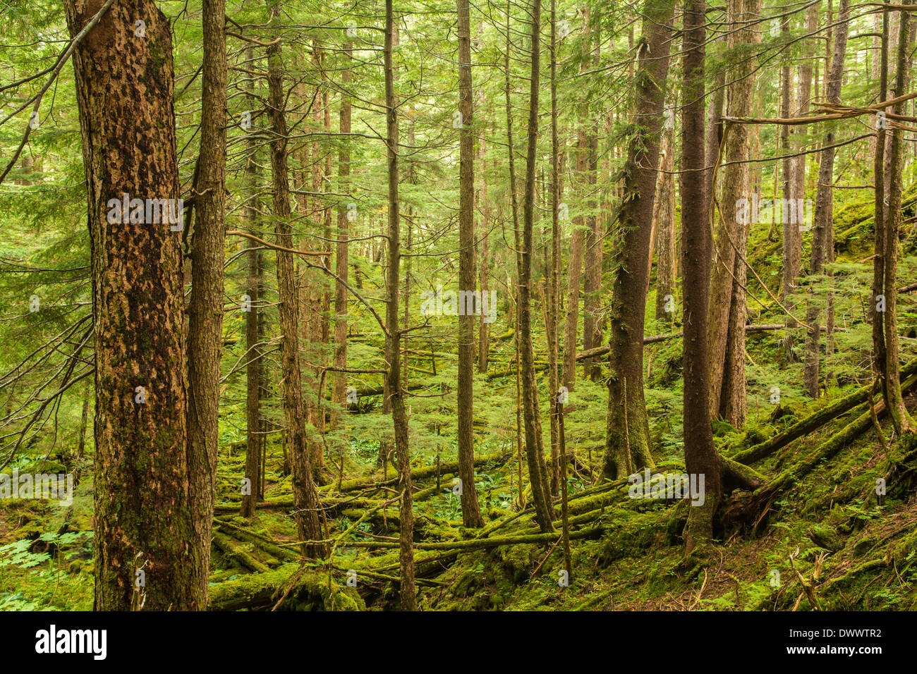 Tongass National Forest, temperate rain forest, Southeast Alaska, USA - Stock Image