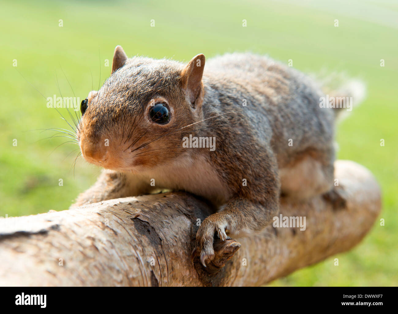 A stuffed squirrel mounted onto a log. Stock Photo