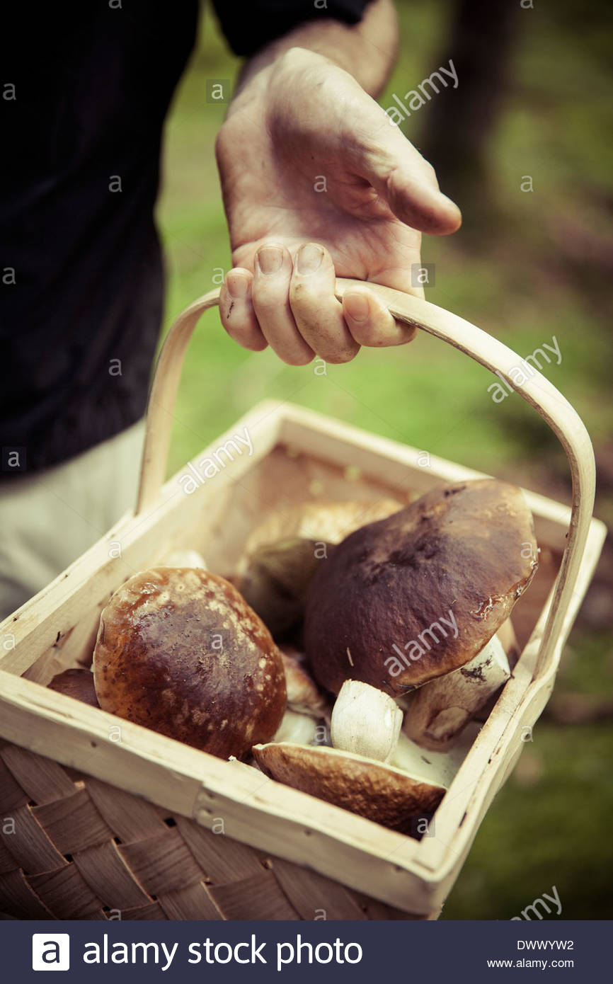 Midsection of man holding basket of mushrooms - Stock Image