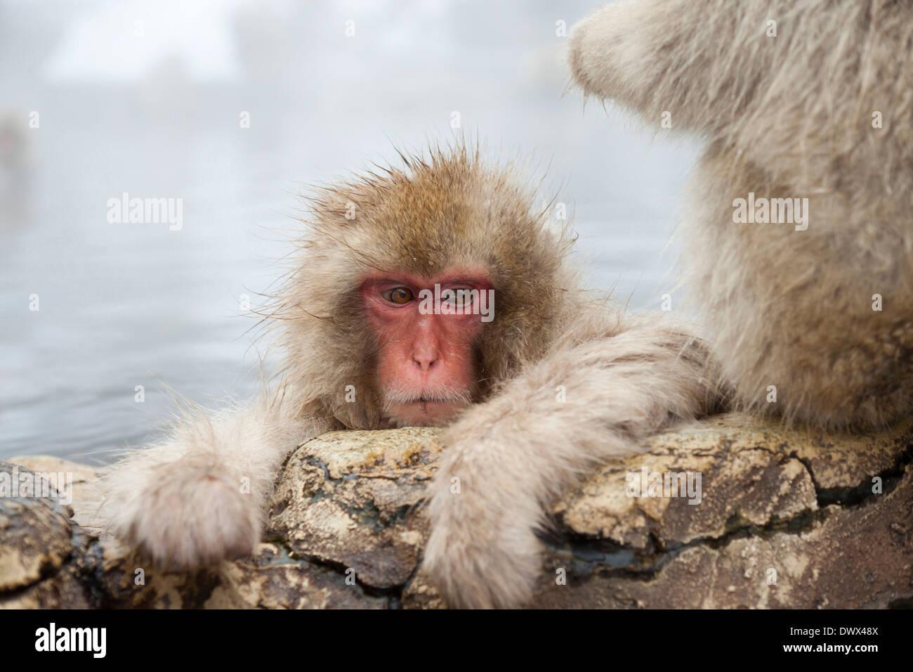 Japanese macaques in hot spring, Nagano, Japan - Stock Image