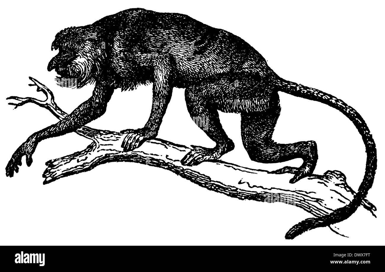 Proboscis Monkey, Long-nosed Monkey, Nasalis larvatus - Stock Image