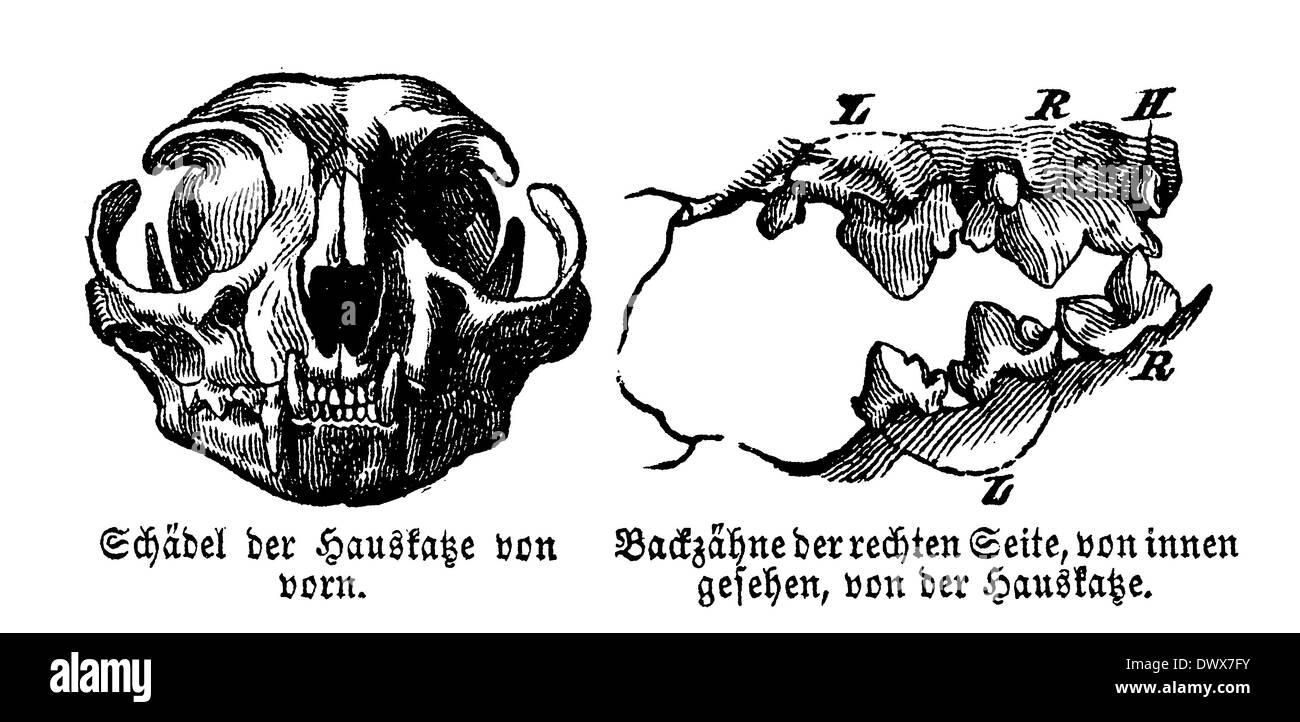 Domestic cat: skull and molars - Stock Image