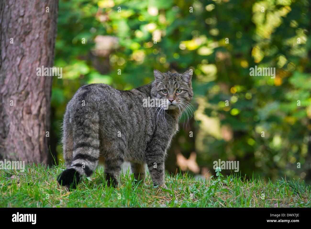 European wildcat (Felis silvestris silvestris) in forest