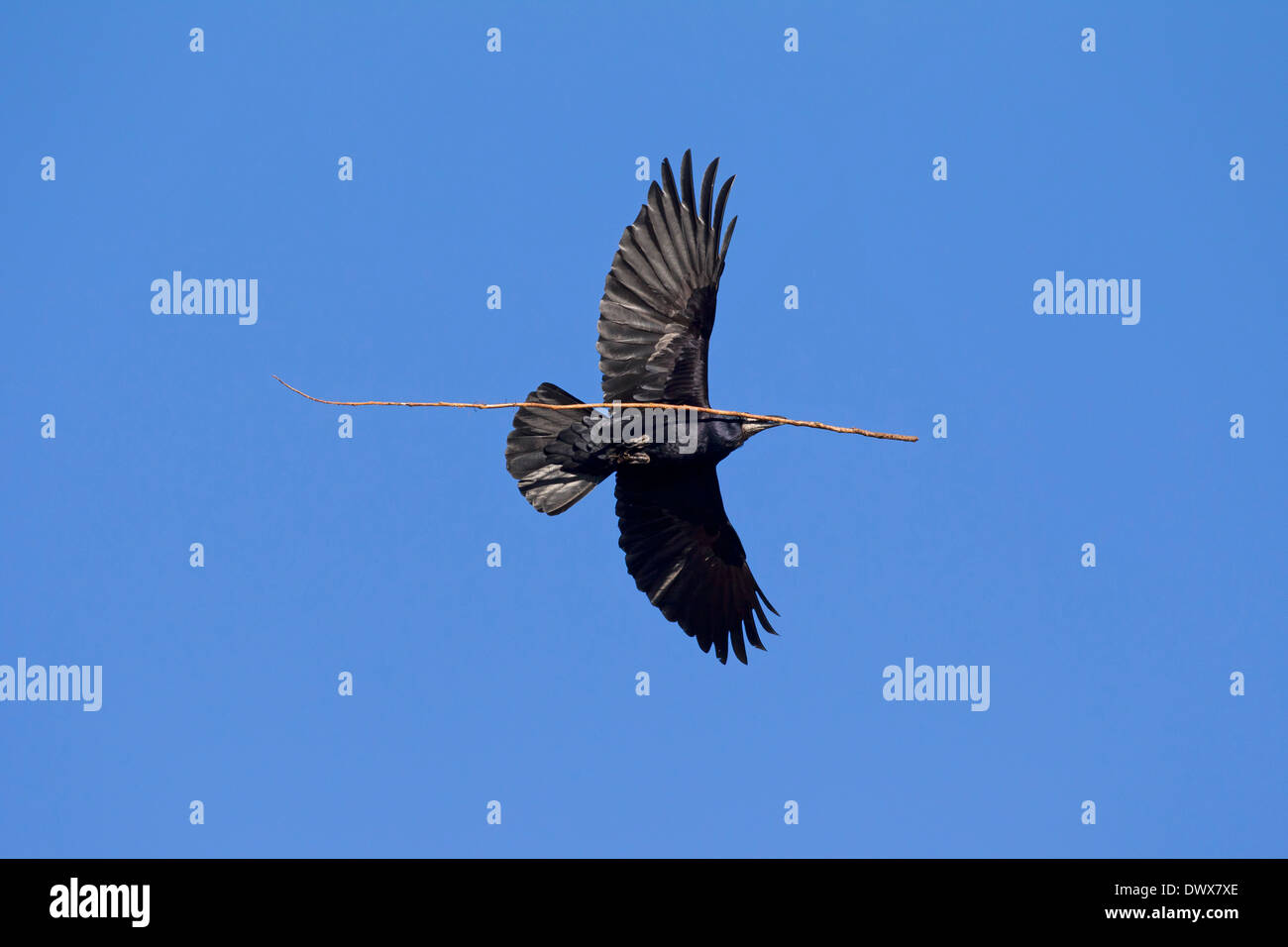 Rook (Corvus frugilegus) in flight with large twig in beak as nesting materialas nesting material for nest building - Stock Image