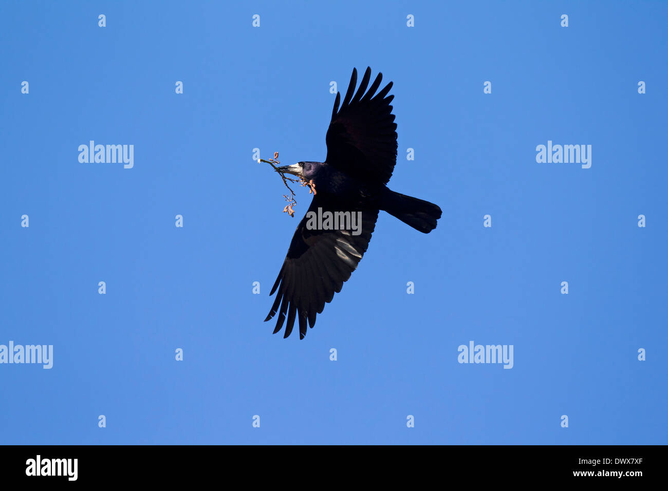 Rook (Corvus frugilegus) in flight with branch in beak as nesting materialas nesting material for nest building - Stock Image