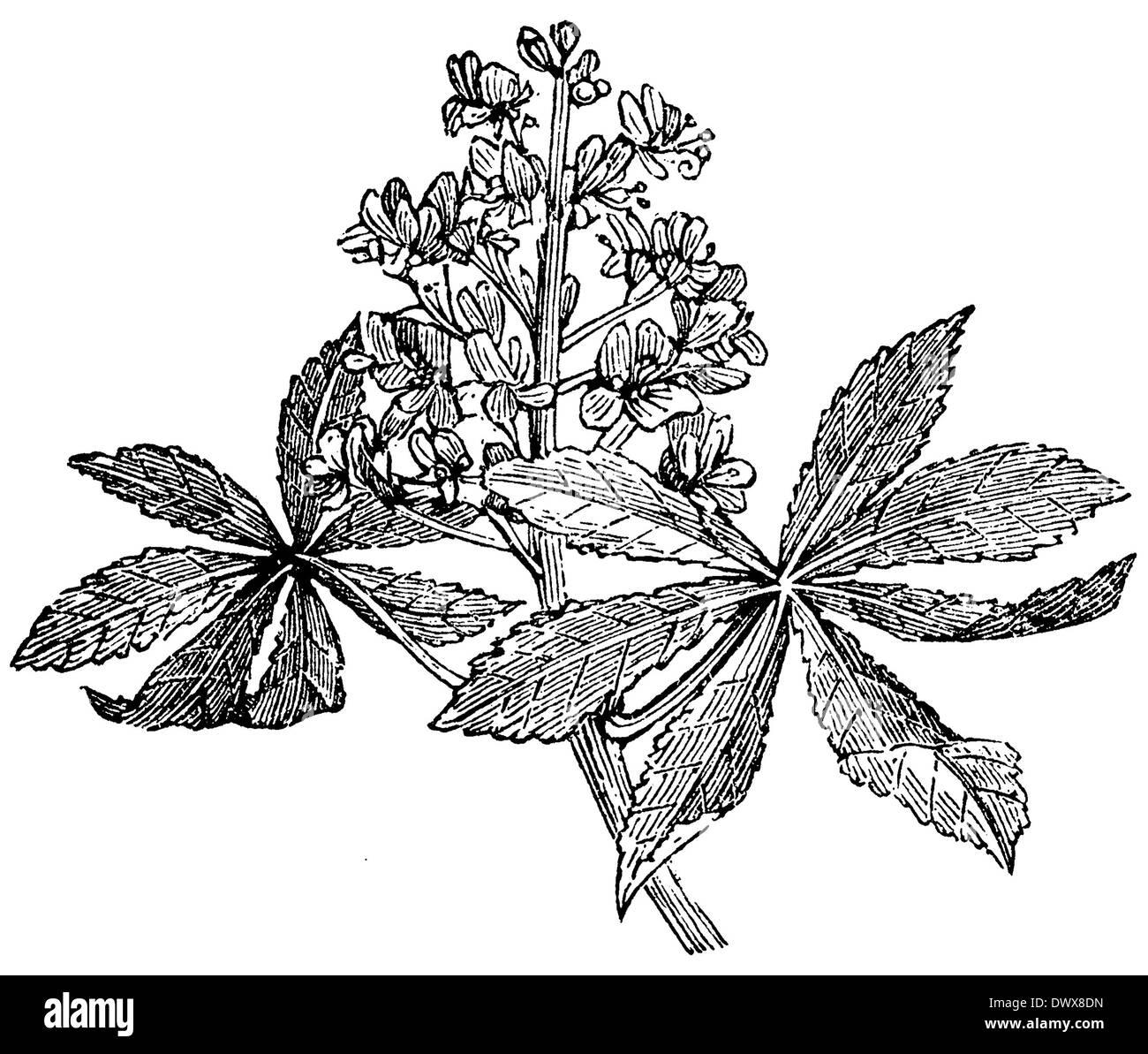 Buckeye - Stock Image