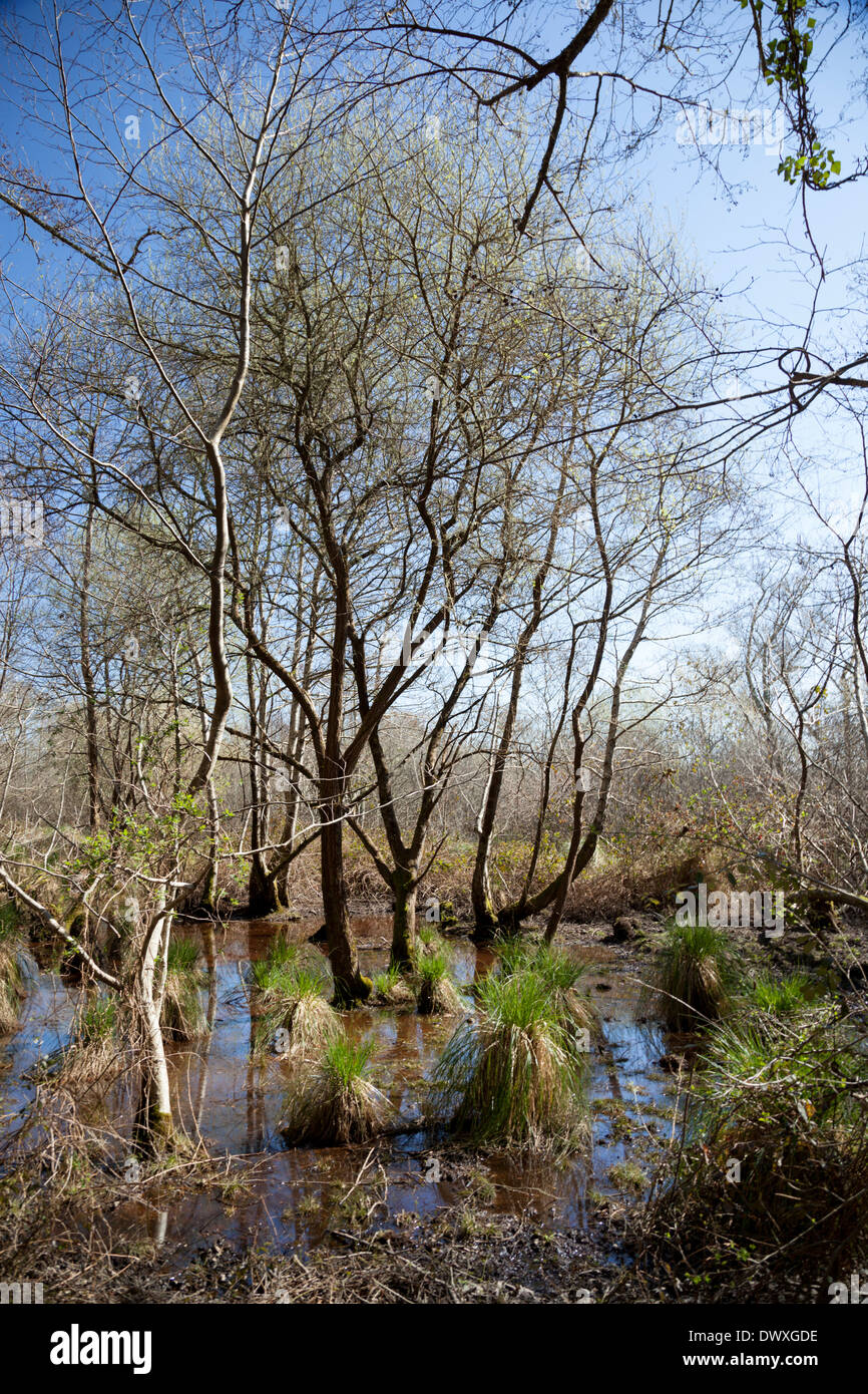 The shallow outlying marshes of the Leon pond (Landes - France) with a vegetation of alders, English oaks and sedges. Carex. - Stock Image