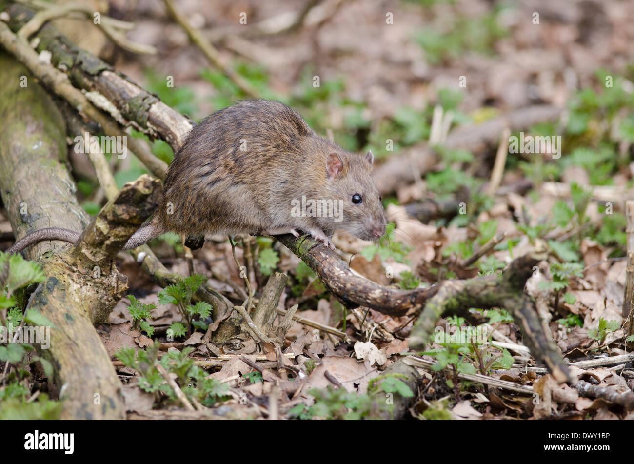 rat,wild - Stock Image
