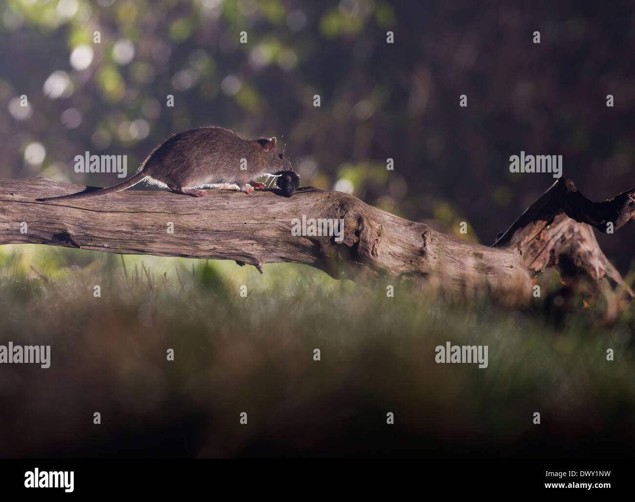 Brown Rat (Rattus norvegicus) on fallen tree branch at night - Stock Image