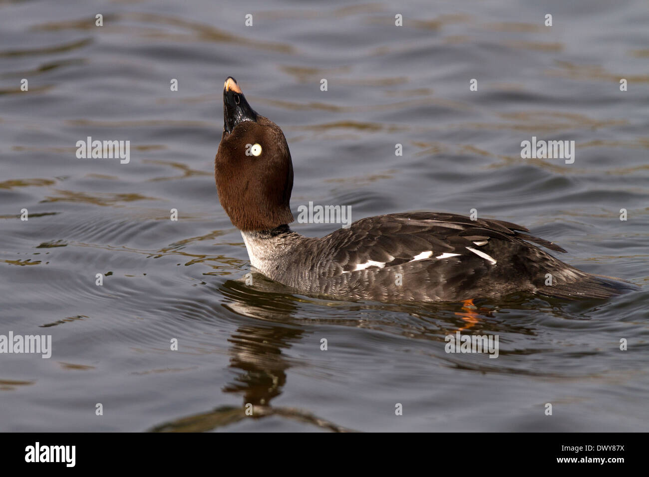 Goldeneye, Bucephala clangula female courting - Stock Image