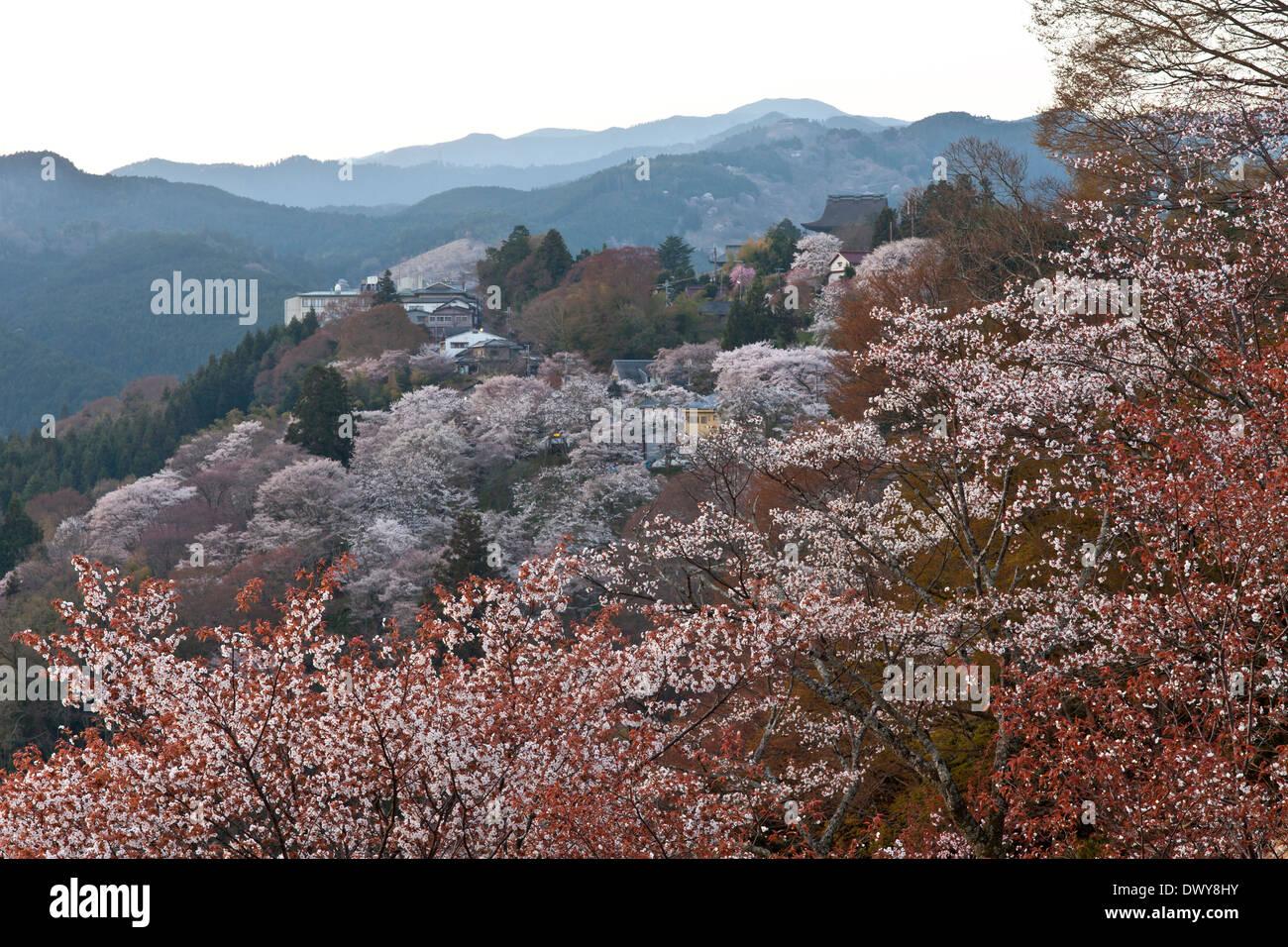 Cherry blossoms on Mt Yoshino, Nara Prefecture, Japan Stock Photo