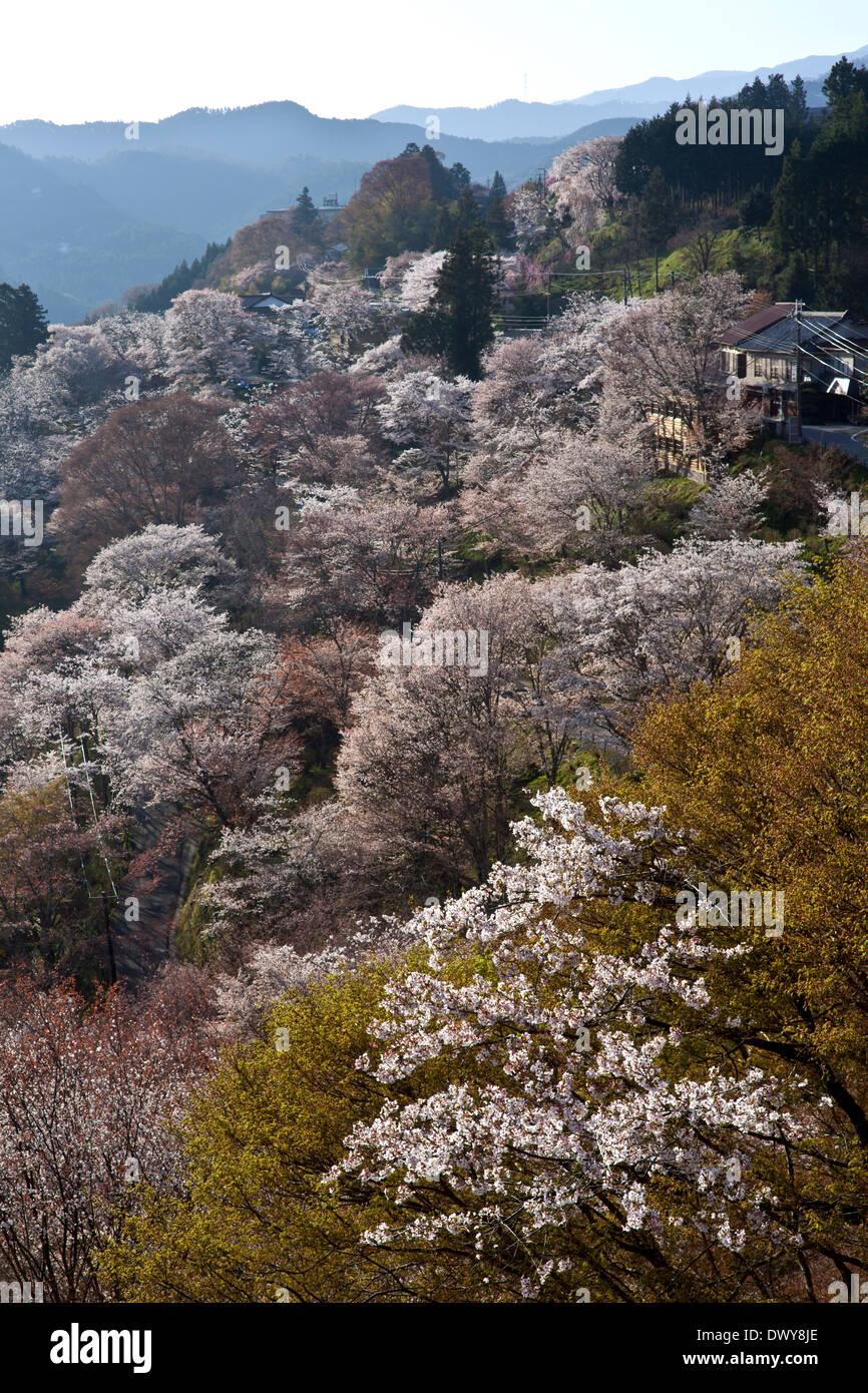 Cherry blossoms on Mt Yoshino, Nara Prefecture, Japan - Stock Image