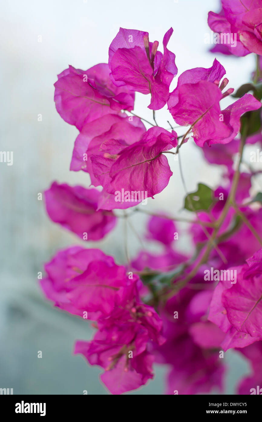 Bougainvillea on gray vertical image. - Stock Image