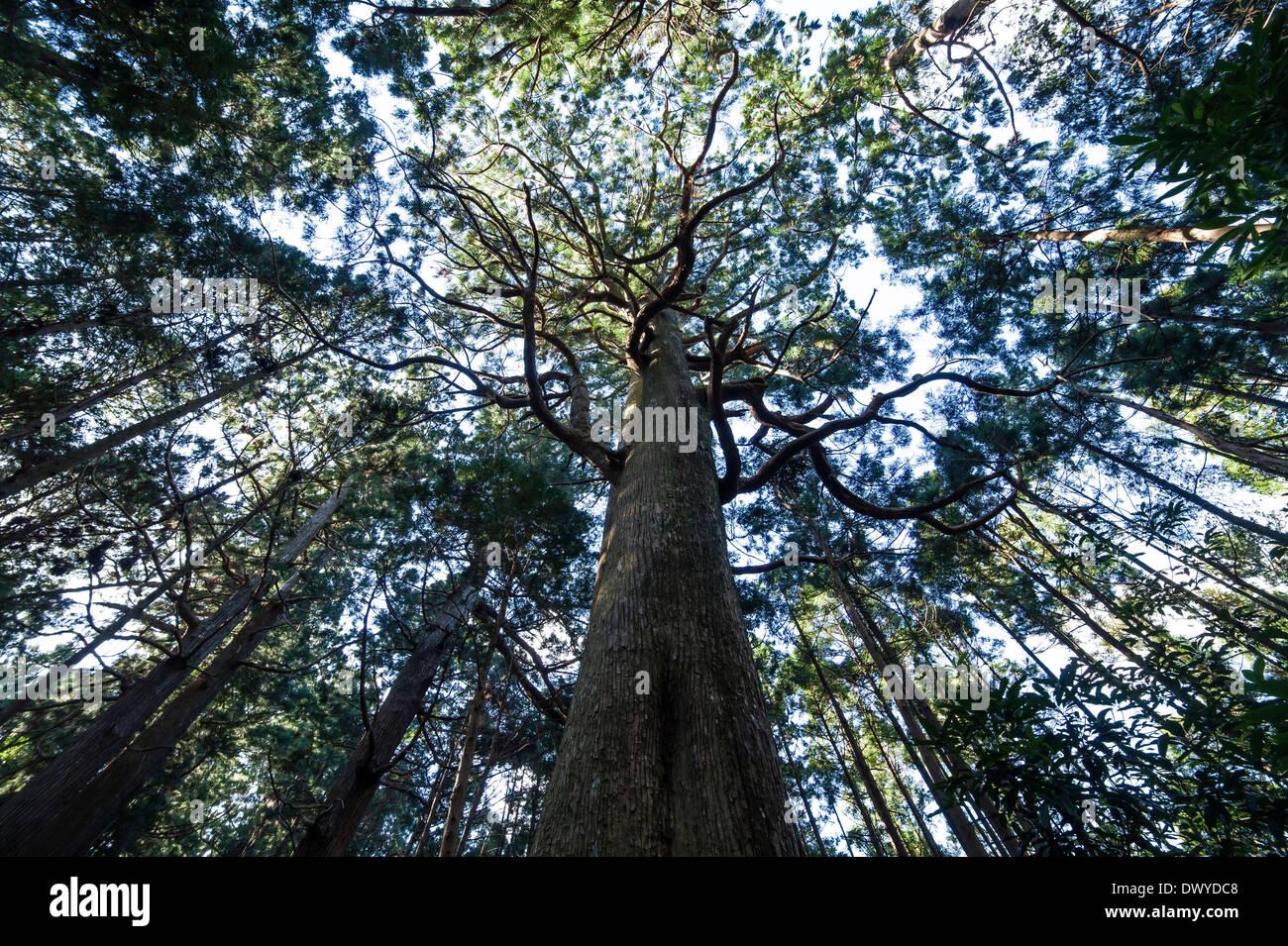 View of Looking up through a Giant Tree in Kumano Kodo, Higashimuro gun, Wakayama Prefecture, Japan - Stock Image