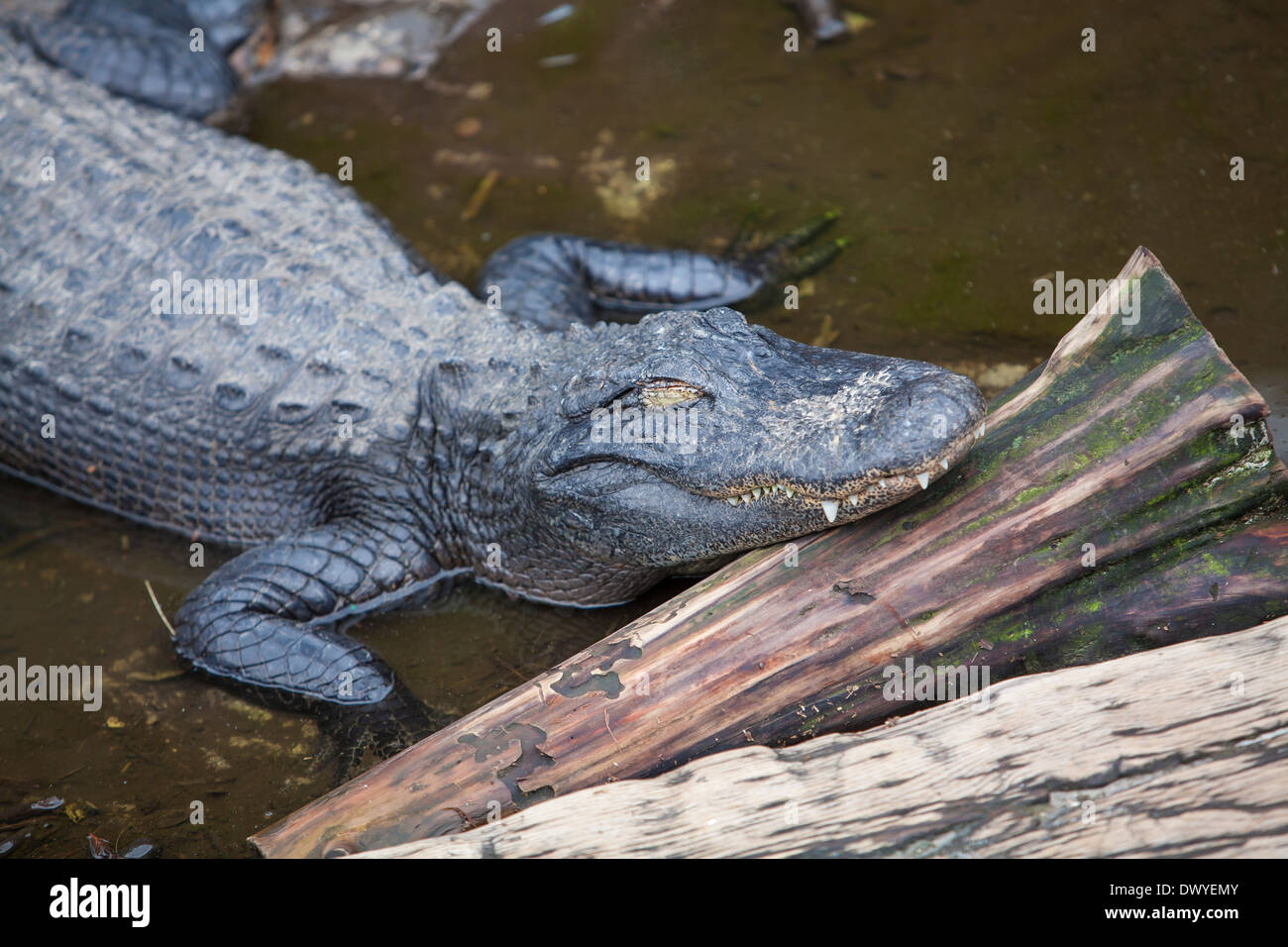 An alligator is pictured in St. Augustine alligator farm, Florida - Stock Image