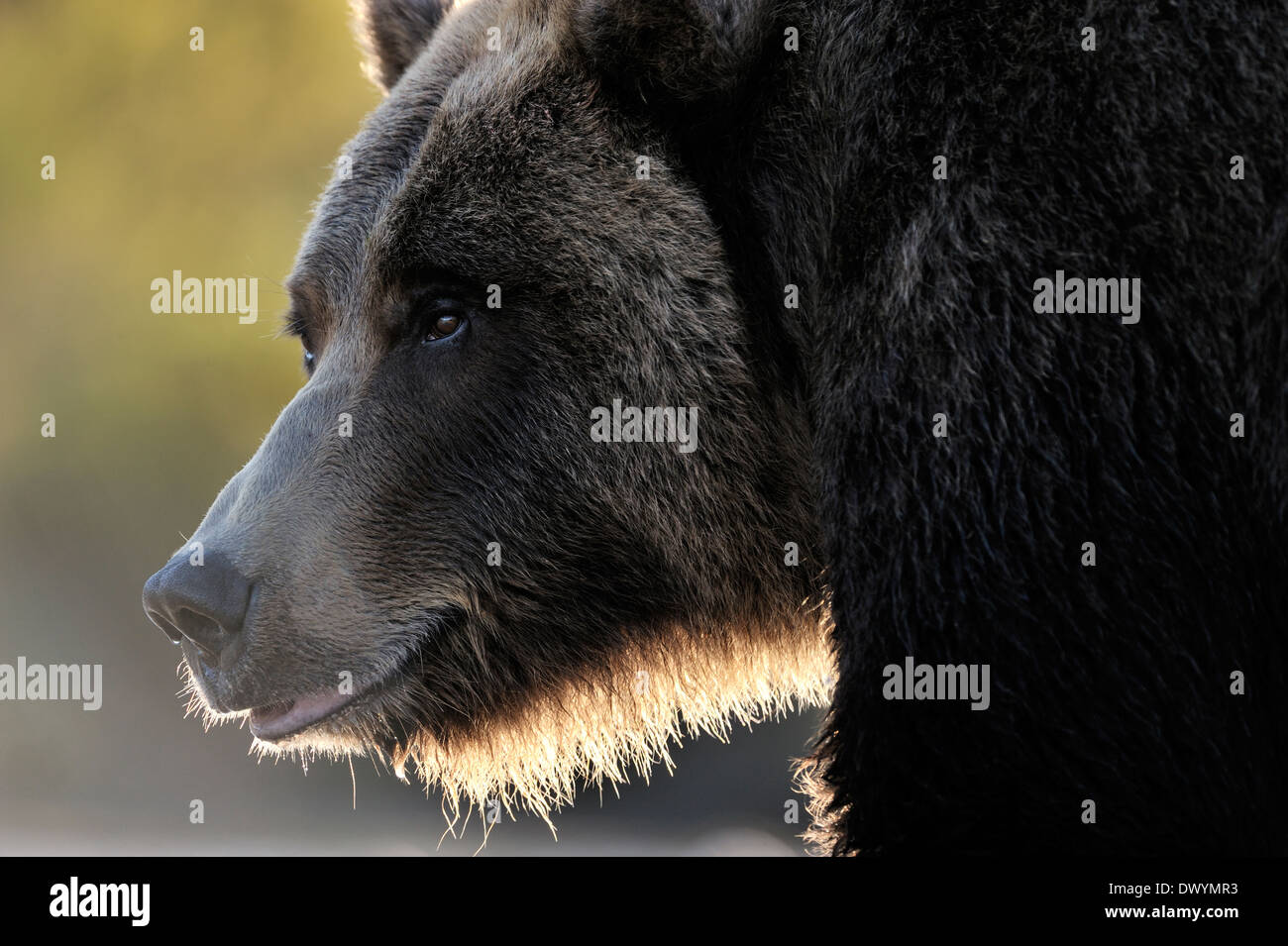 Grizzly bear (Ursus arctos horribilis) portrait with back light. - Stock Image