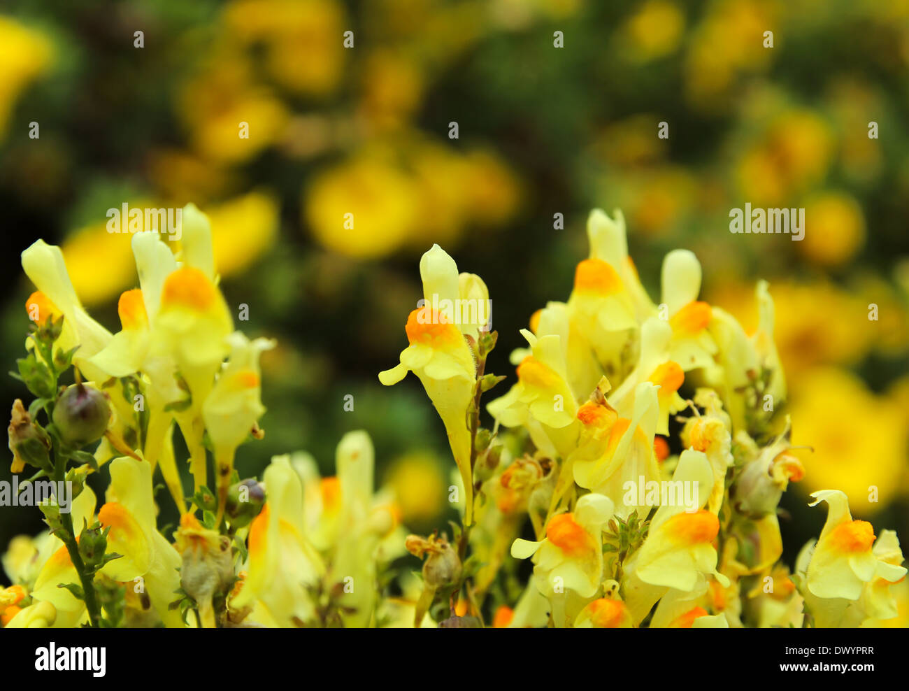 Yellow toadflax in summer - Stock Image