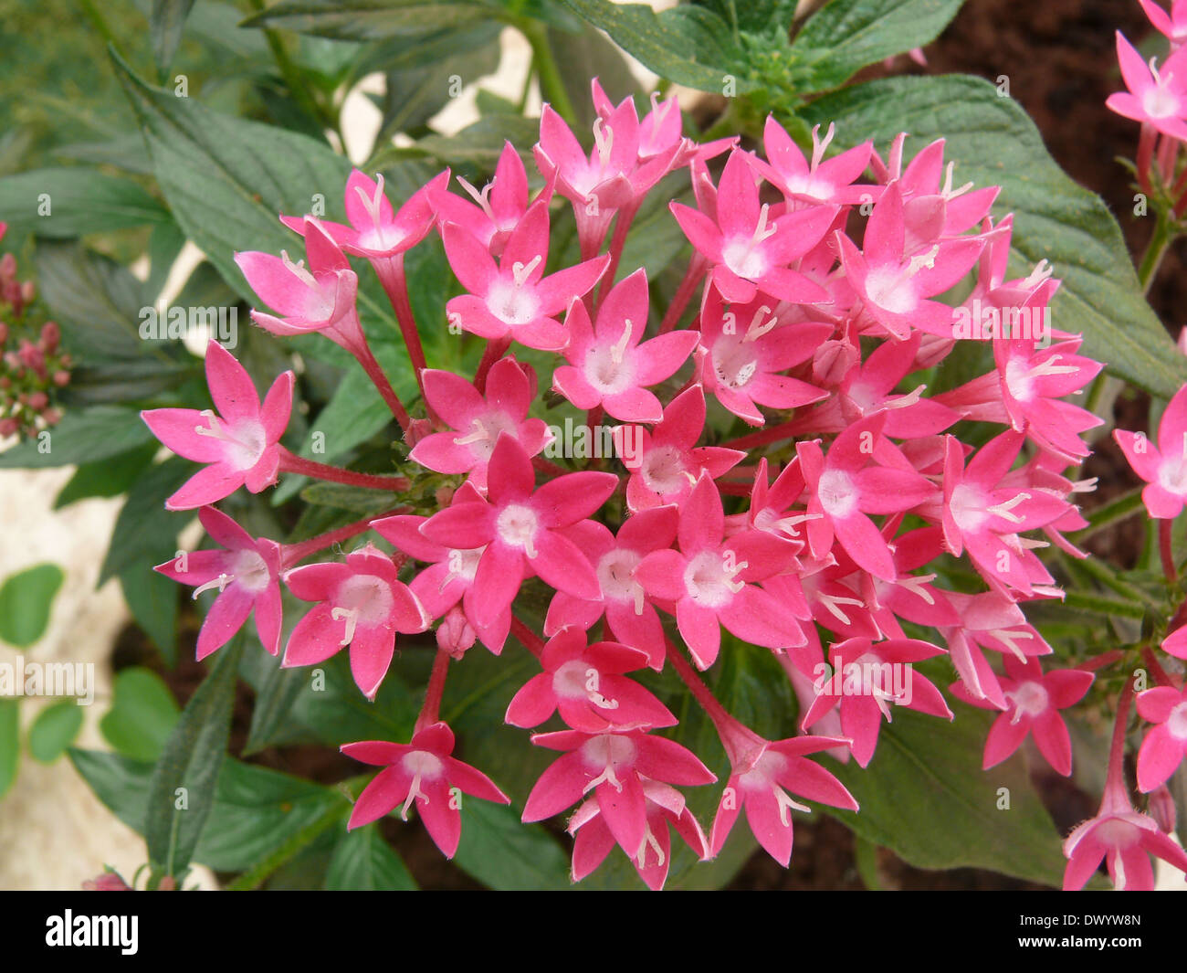 Pentas, Star flower, Star cluster, Pentas lanceolata, Rubiaceae - Stock Image