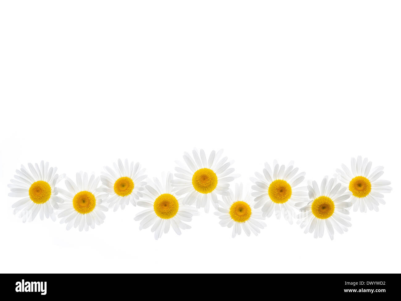 Flower border of oxeye daisies isolated on white background stock flower border of oxeye daisies isolated on white background izmirmasajfo