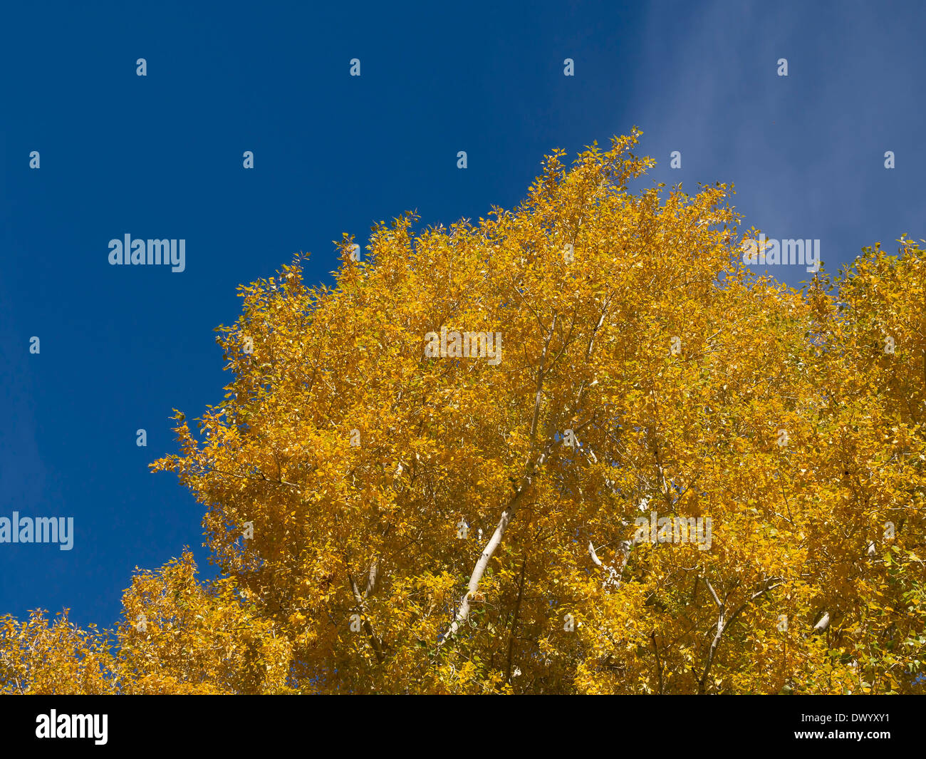 Looking Up Into The Large Branches Of A Beautiful Cottonwood Stock Photo Picture And Royalty Free Image Image 11088560