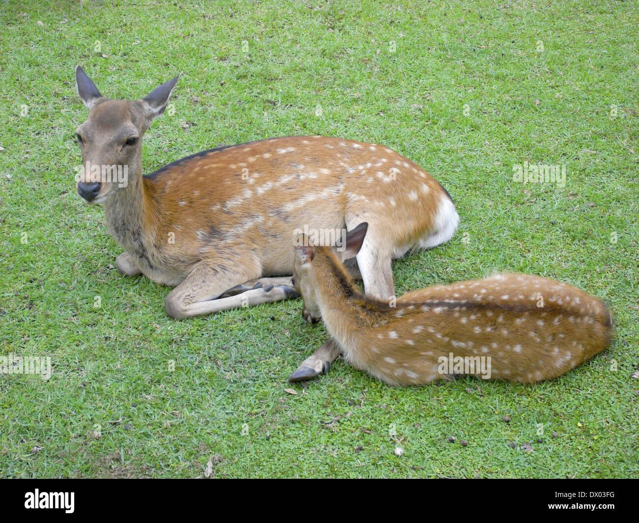Deer and fawn, Nara Prefecture, Japan - Stock Image
