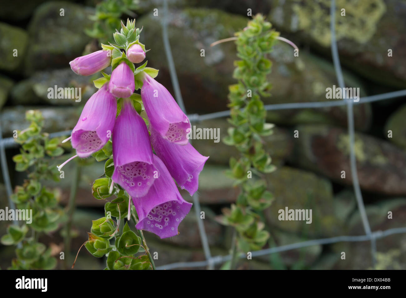 Pink foxglove flowers in front of a dry stone wall in the lake stock pink foxglove flowers in front of a dry stone wall in the lake district cumbria england mightylinksfo