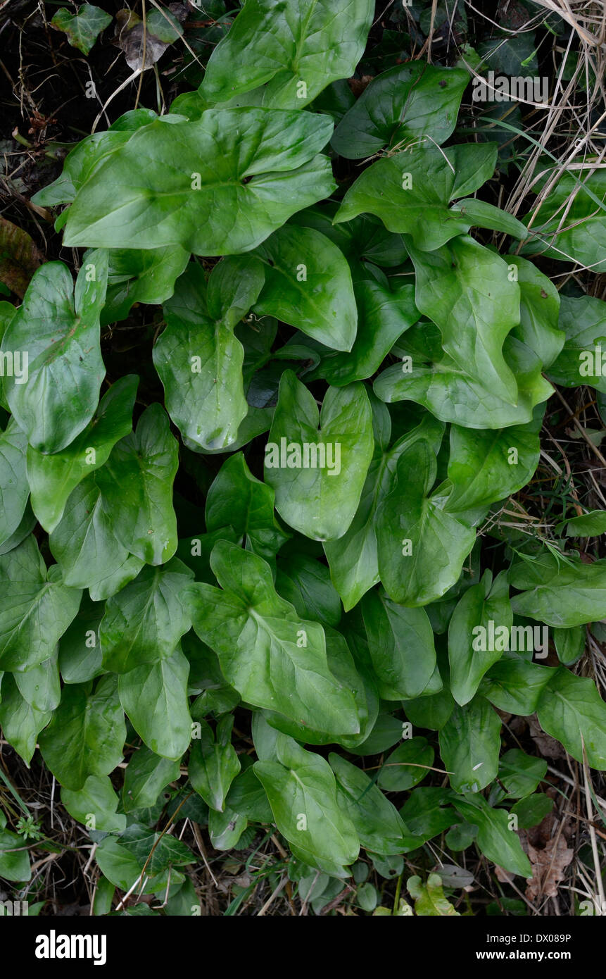 Leaves of young Arum maculatum plant (without the leaf spots showing). This is regarded as a highly toxic plant. Called Cuckoo-pint, Lords and Ladies. - Stock Image