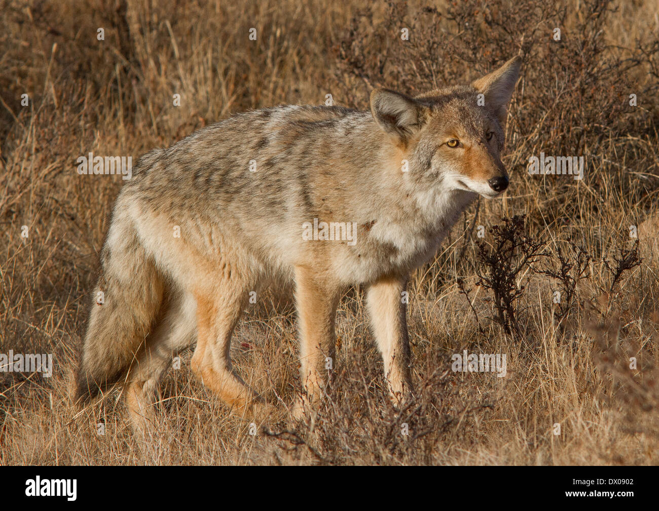 Handsome Yellowstone Coyote - Stock Image