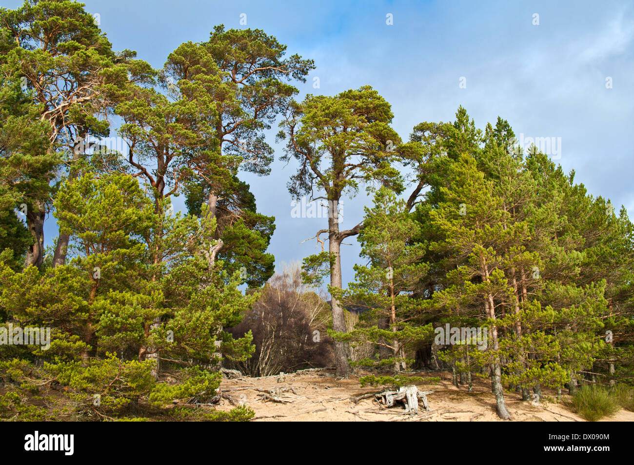 Scots Pine trees growing on sandy beach by Loch Morlich, near Aviemore, Cairngorms National Park, Scottish Highlands Scotland UK - Stock Image