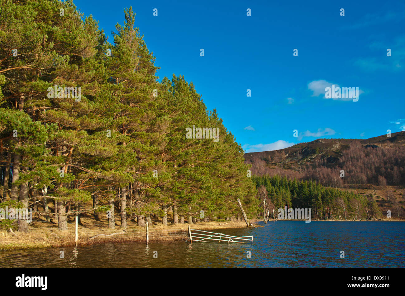 Pine plantation in winter sunshine at the edge of Loch Pityoulish near Aviemore, Cairngorms National Park, Highlands Scotland UK - Stock Image