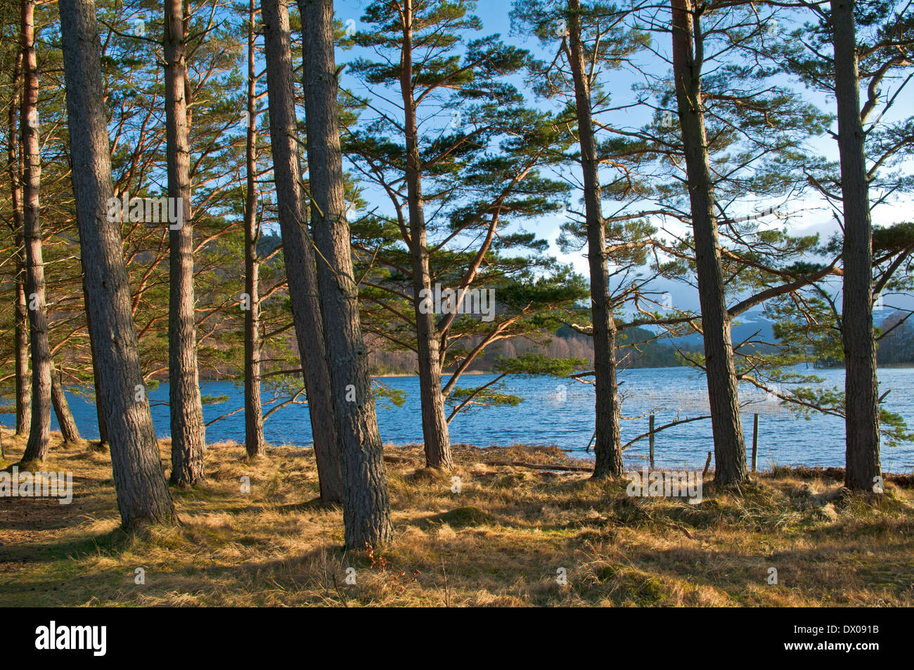 A stand of Scots Pines at the edge of Loch Pityoulish lit by low winter sunshine, near Aviemore, Scottish Highlands, Scotland UK - Stock Image