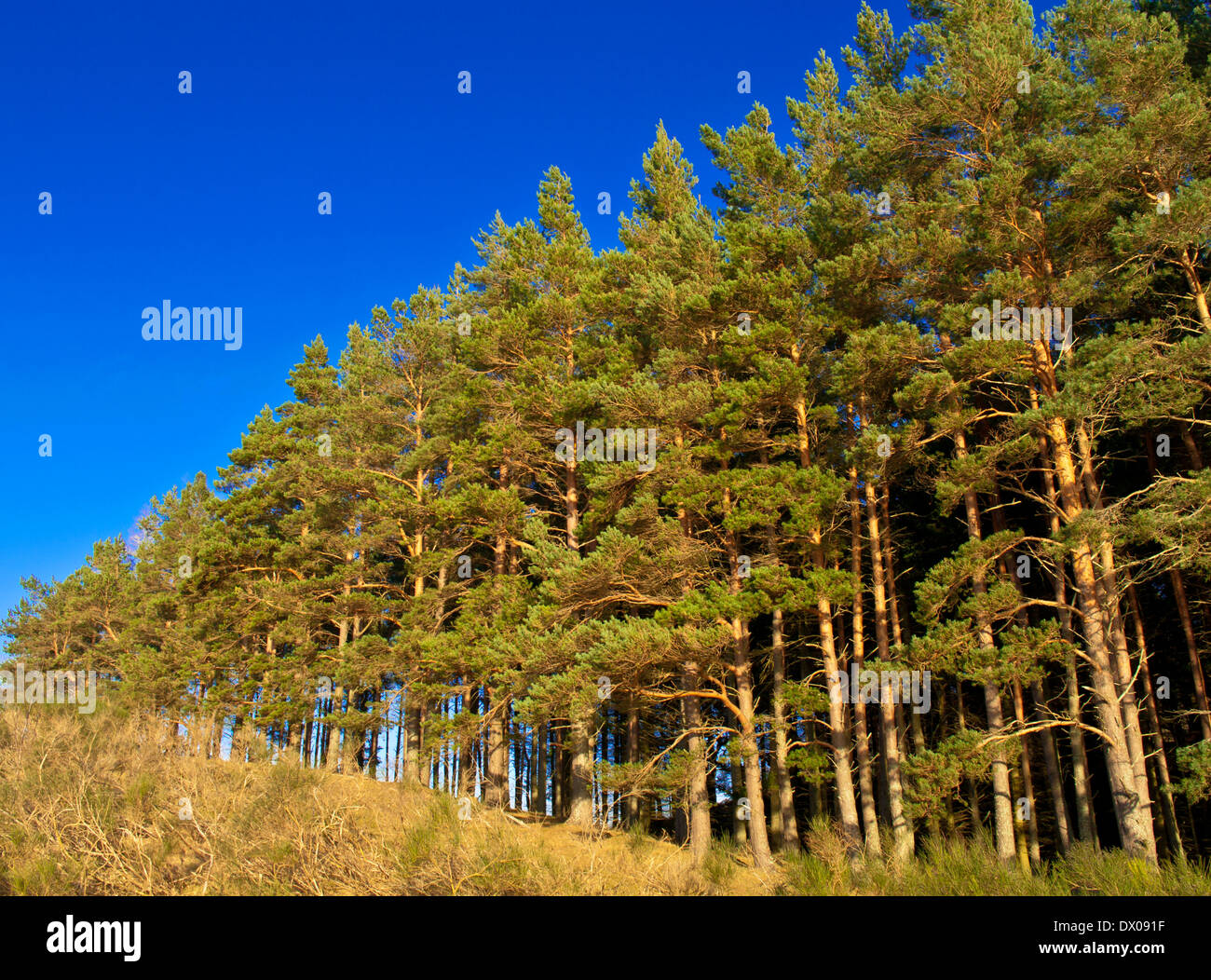 Pine plantation on hillside by Loch Pityoulish angled against deep blue sky, near Aviemore, Cairngorms National Park Scotland UK - Stock Image
